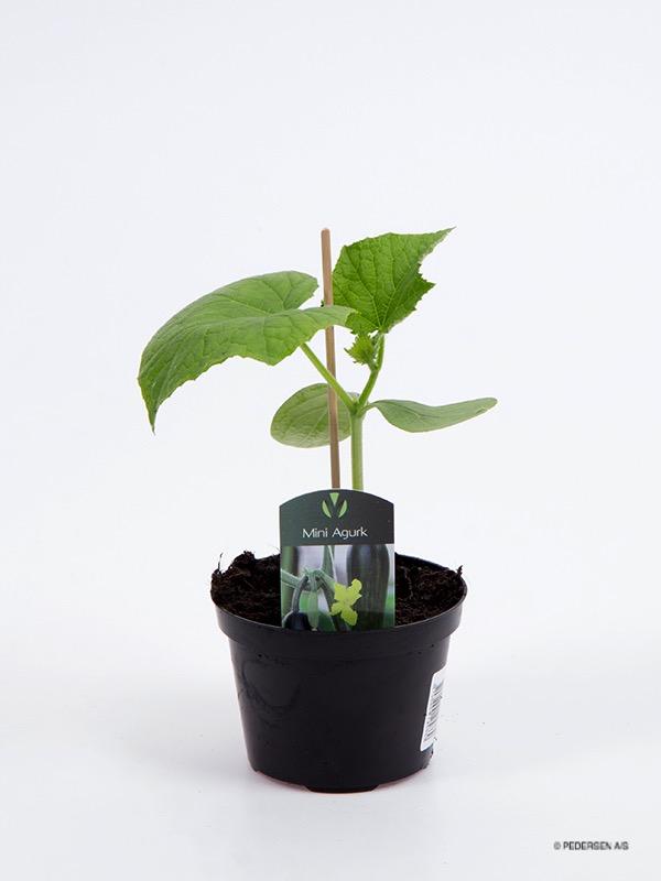Mini Agurk