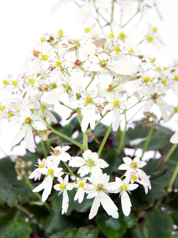 Saxifraga Miharo Closeup