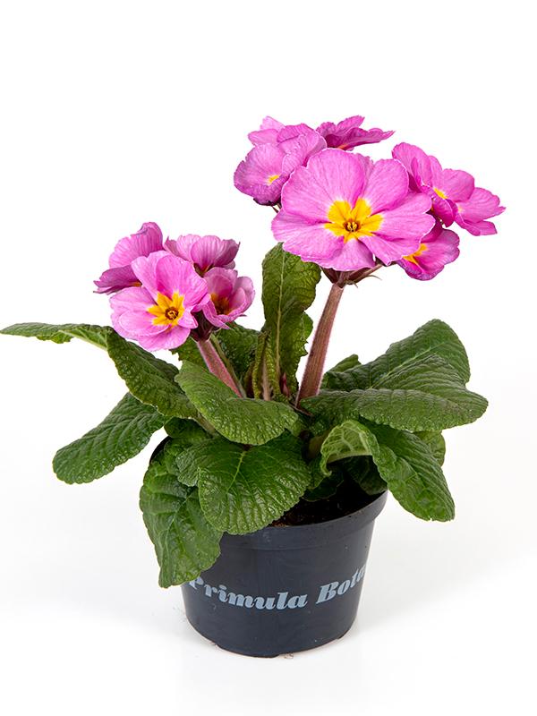 Botanic Flieder